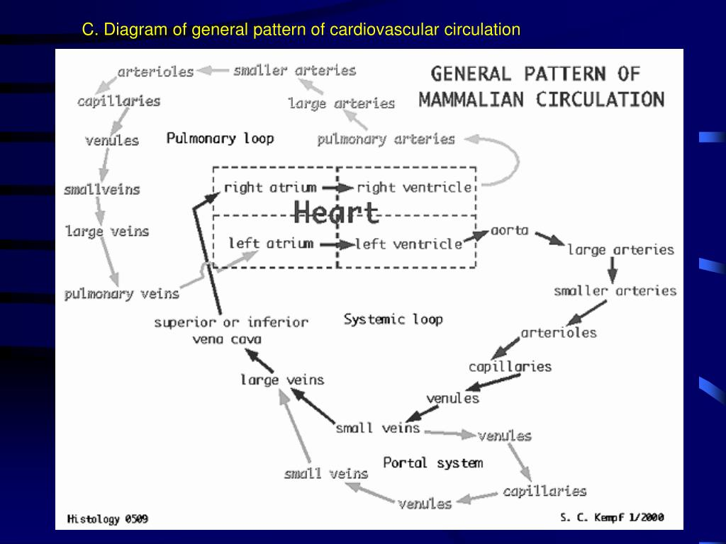 C. Diagram of general pattern of cardiovascular circulation