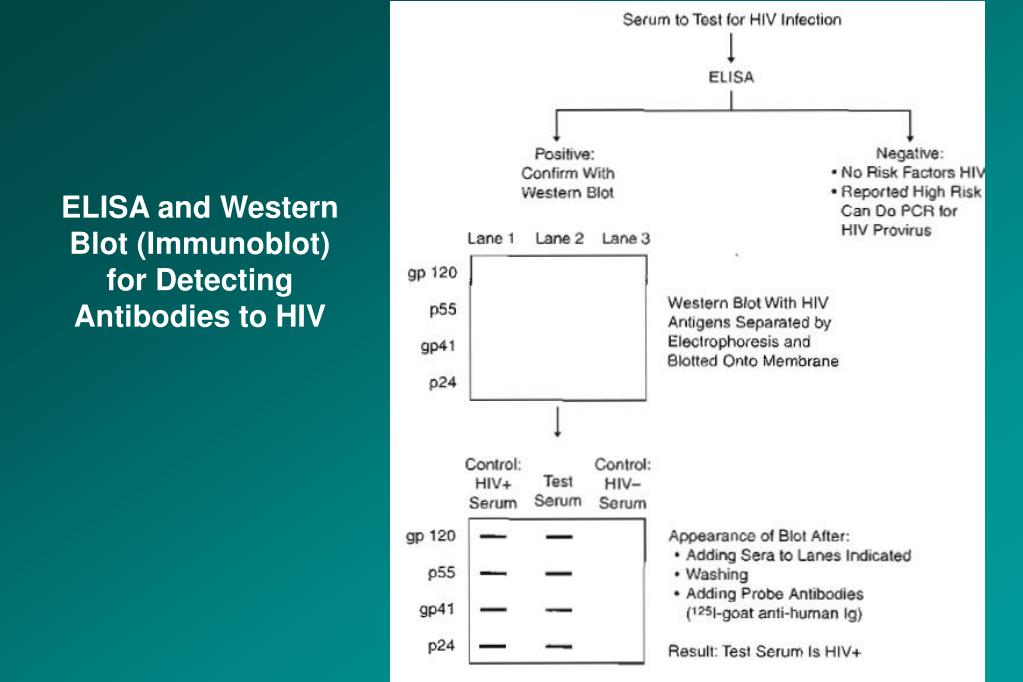 ELISA and Western Blot (Immunoblot)