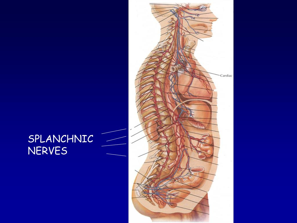 SPLANCHNIC NERVES