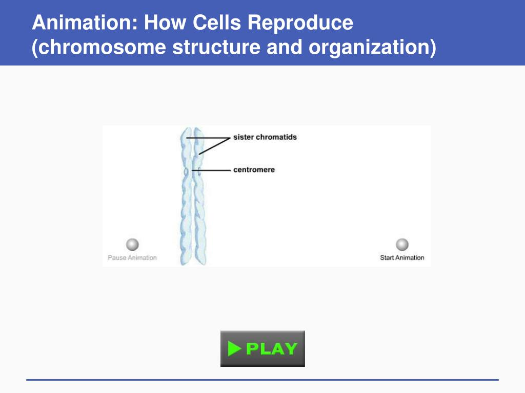 Animation: How Cells Reproduce (chromosome structure and organization)