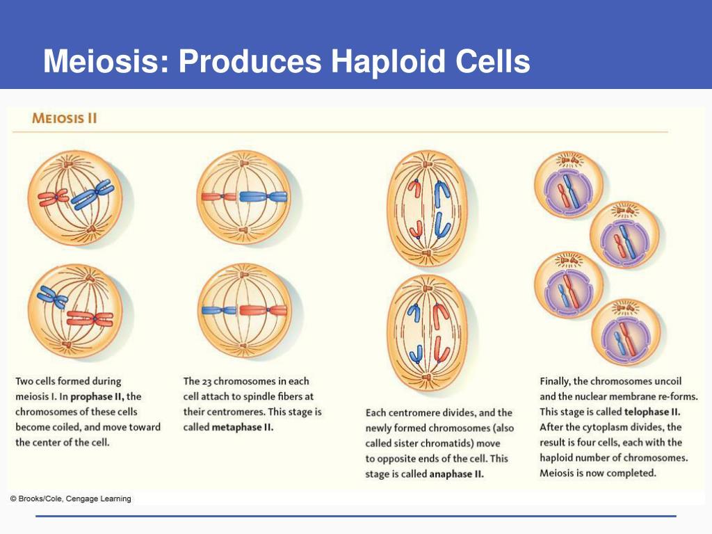Meiosis: Produces Haploid Cells