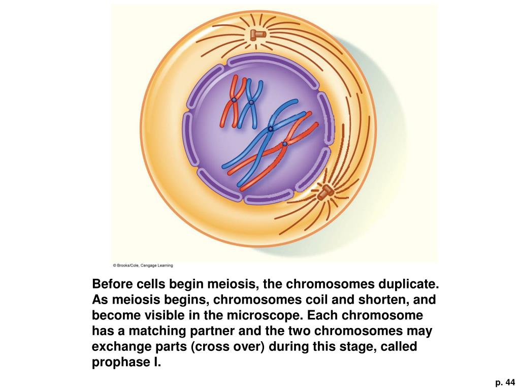 Before cells begin meiosis, the chromosomes duplicate. As meiosis begins, chromosomes coil and shorten, and become visible in the microscope. Each chromosome has a matching partner and the two chromosomes may exchange parts (cross over) during this stage, called prophase I.