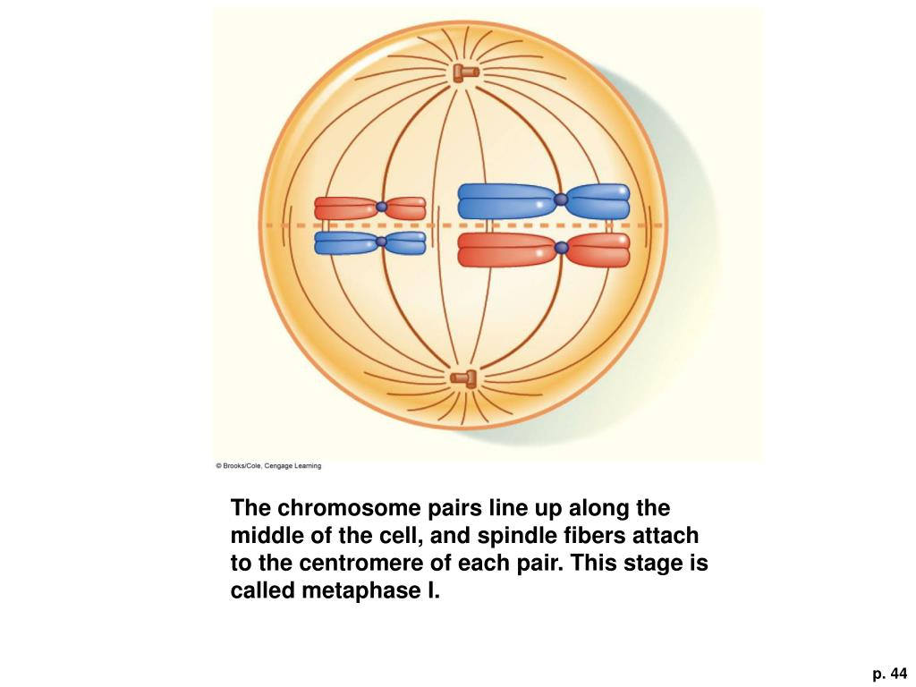 The chromosome pairs line up along the middle of the cell, and spindle fibers attach