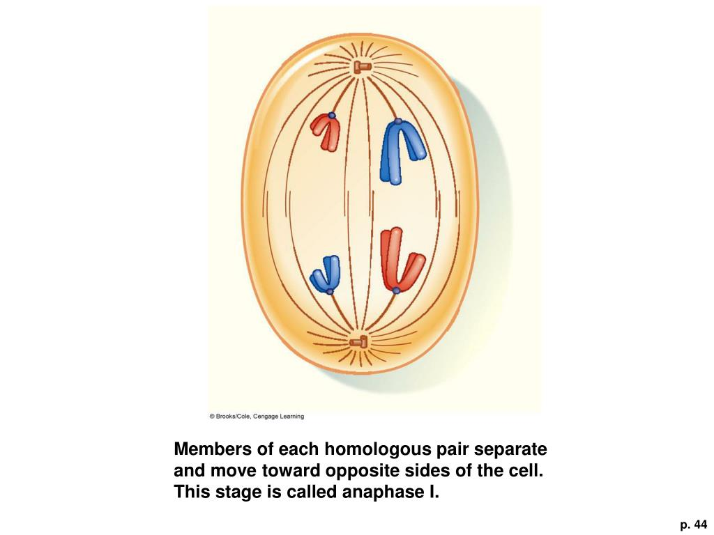 Members of each homologous pair separate and move toward opposite sides of the cell. This stage is called anaphase I.