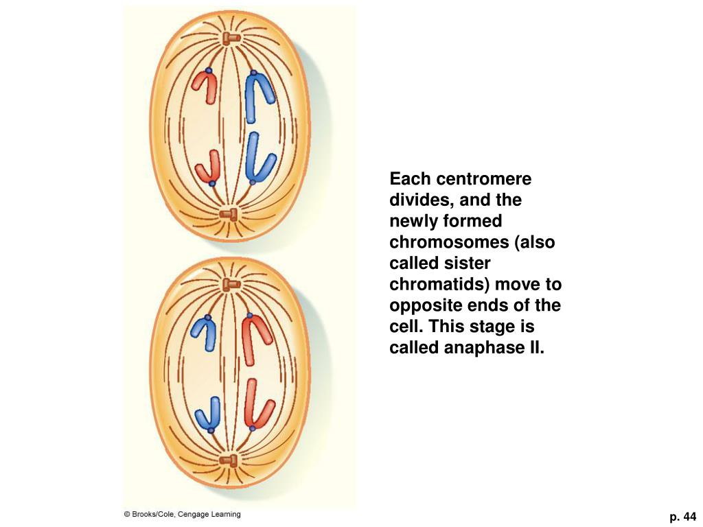 Each centromere divides, and the newly formed chromosomes (also called sister chromatids) move to opposite ends of the cell. This stage is called anaphase II.