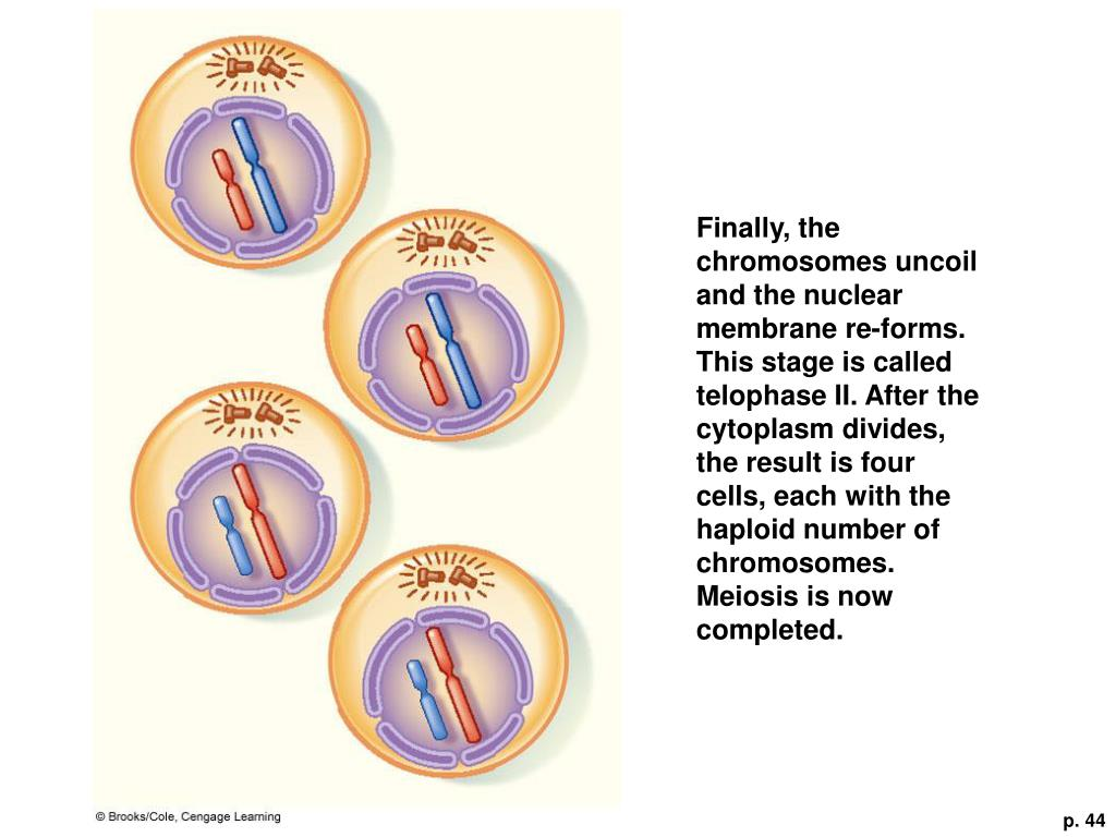 Finally, the chromosomes uncoil and the nuclear membrane re-forms. This stage is called telophase II. After the cytoplasm divides, the result is four cells, each with the haploid number of chromosomes. Meiosis is now completed.