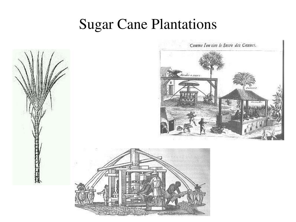 Sugar Cane Plantations