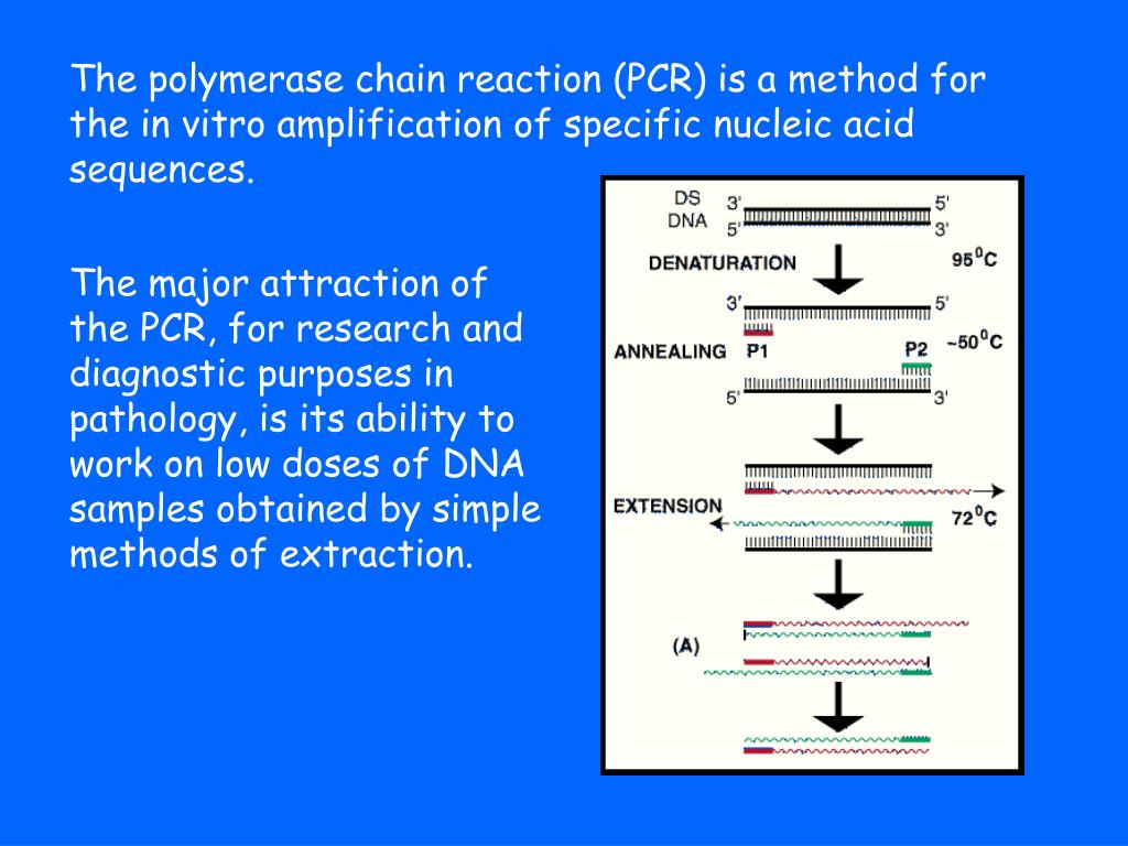 The polymerase chain reaction (PCR) is a method for the in vitro amplification of specific nucleic acid sequences.