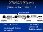 xenopus laevis similar to human