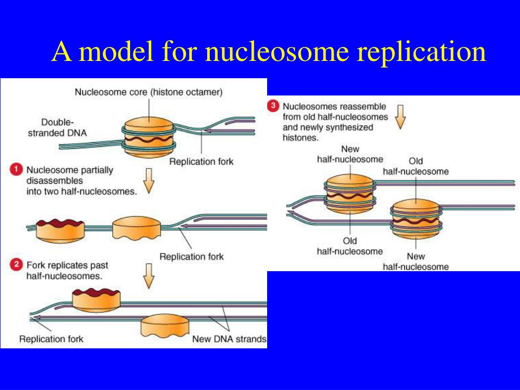 A model for nucleosome replication