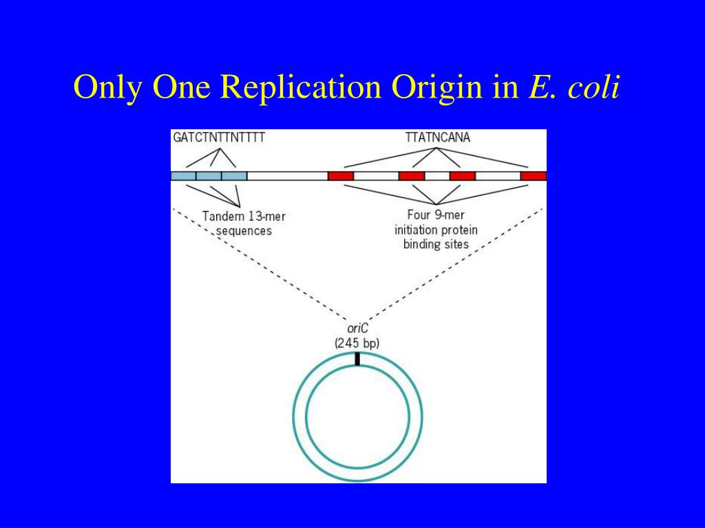 Only One Replication Origin in