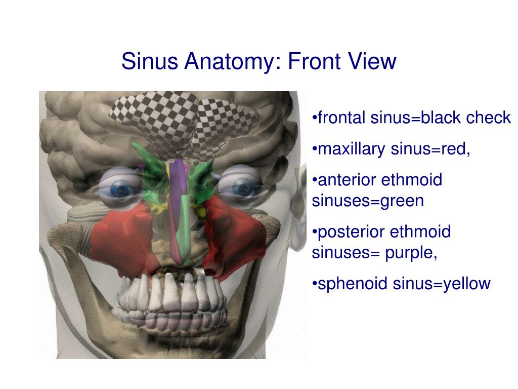 Sinus Anatomy: Front View