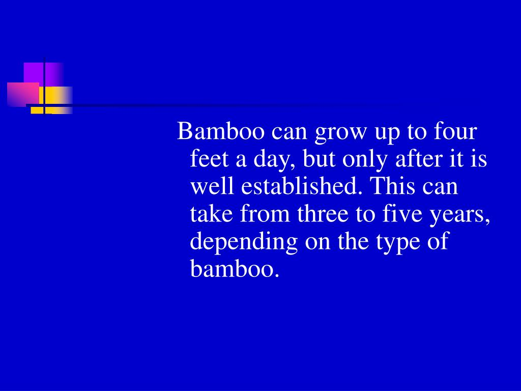 Bamboo can grow up to four feet a day, but only after it is well established. This can take from three to five years, depending on the type of bamboo.