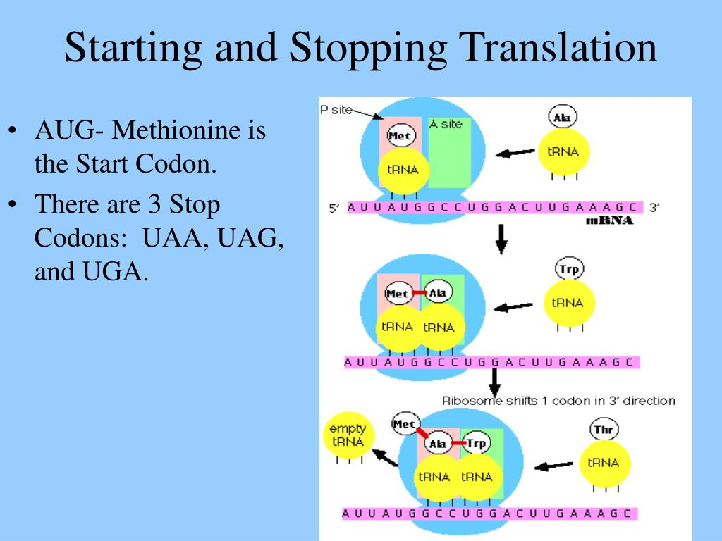 AUG- Methionine is the Start Codon.