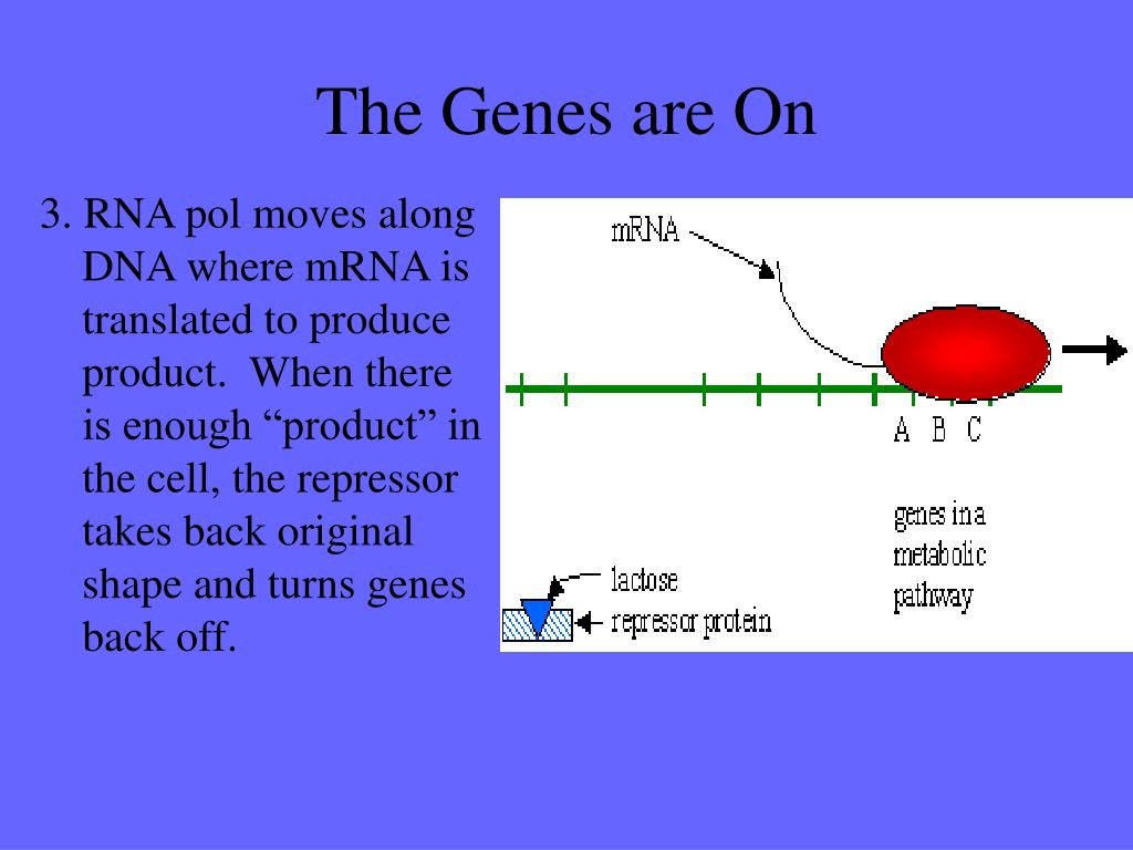 """3. RNA pol moves along DNA where mRNA is translated to produce product.  When there is enough """"product"""" in the cell, the repressor takes back original shape and turns genes back off."""