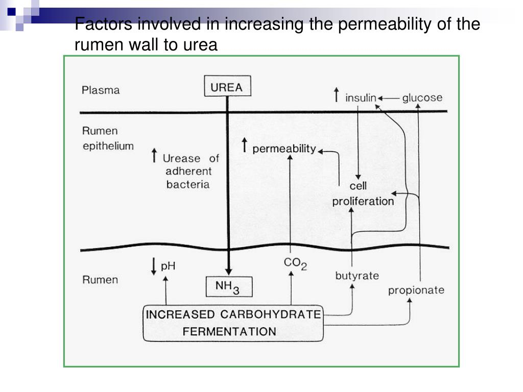 Factors involved in increasing the permeability of the rumen wall to urea