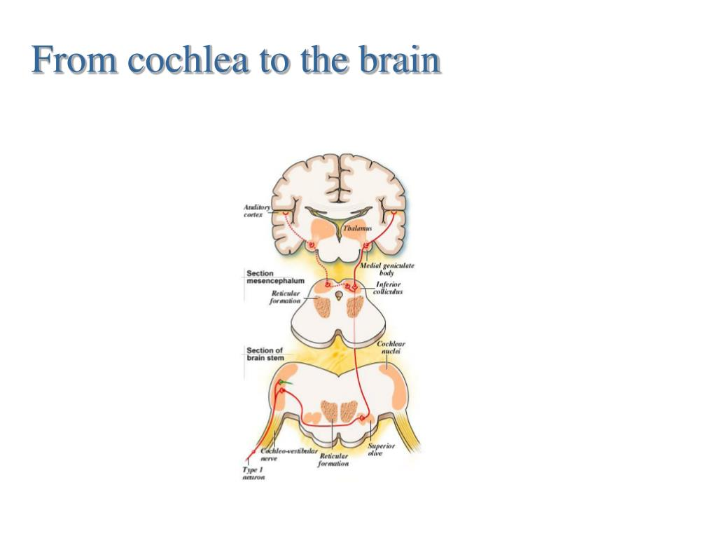 From cochlea to the brain