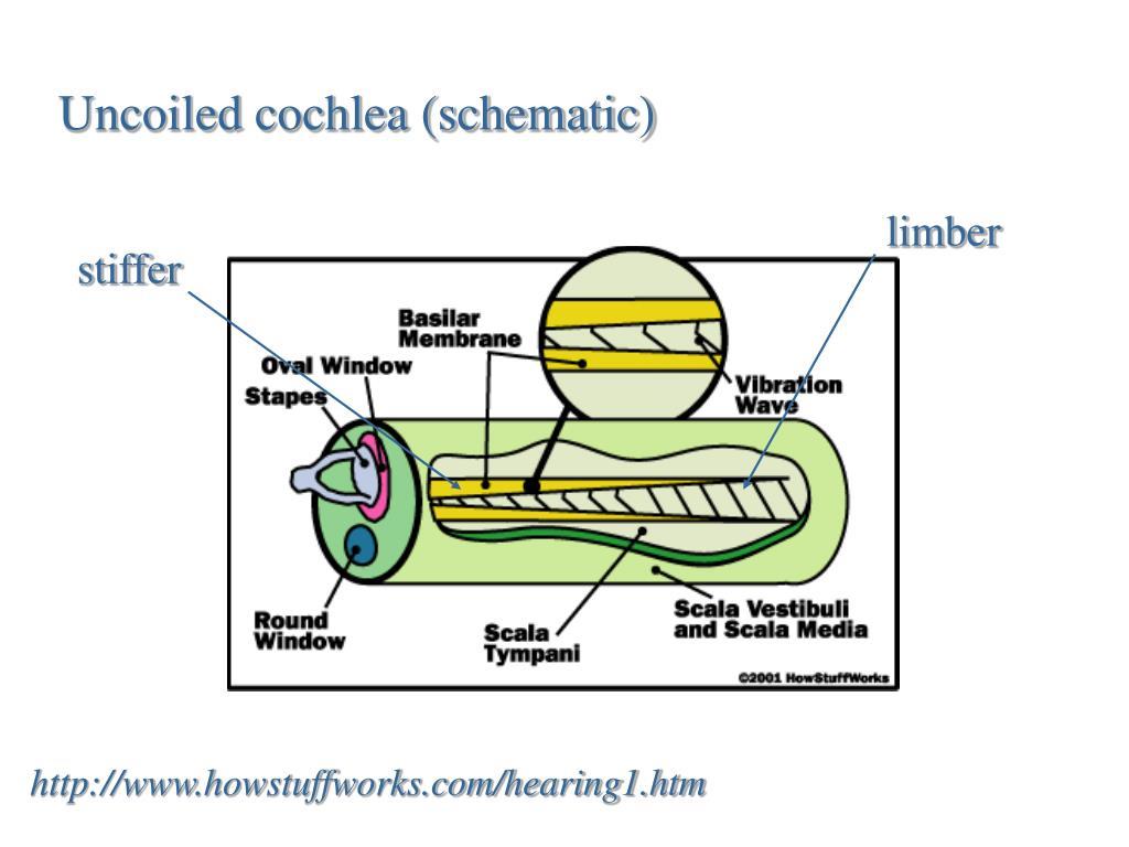 Uncoiled cochlea (schematic)