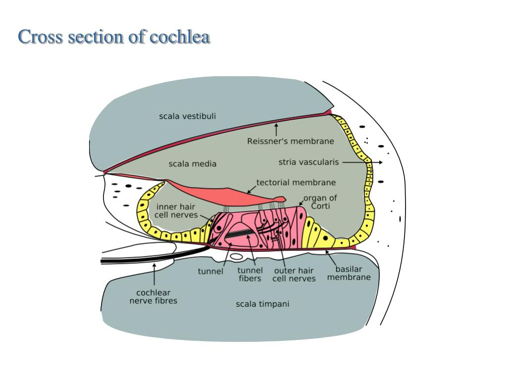 Cross section of cochlea