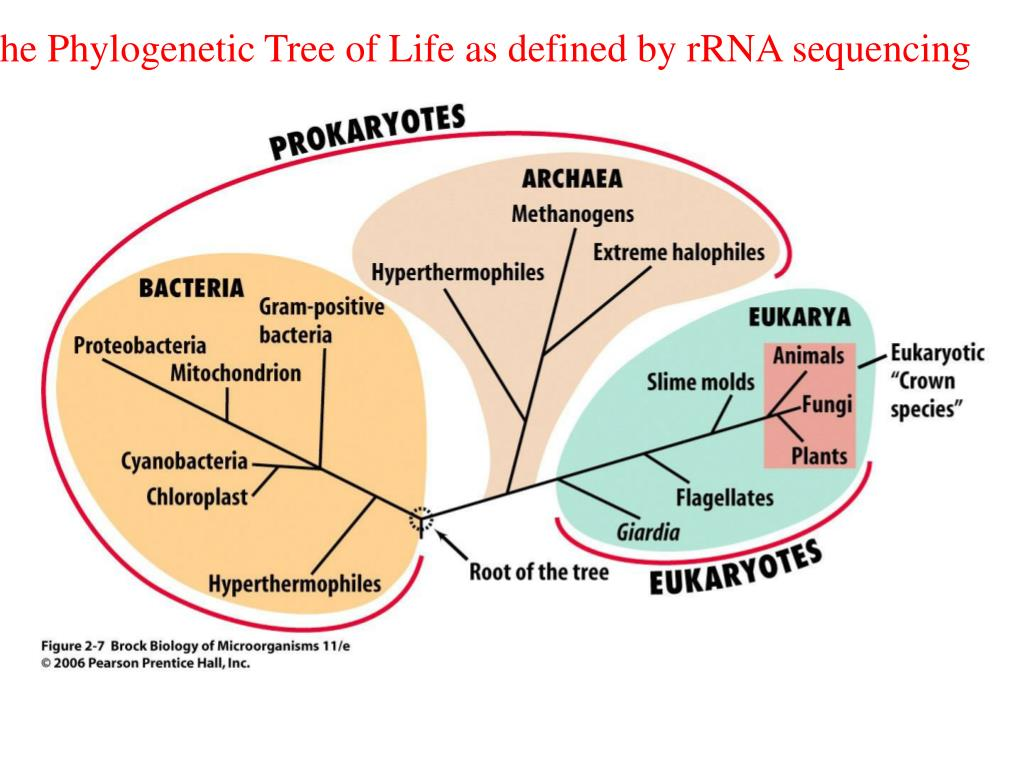 The Phylogenetic Tree of Life as defined by rRNA sequencing