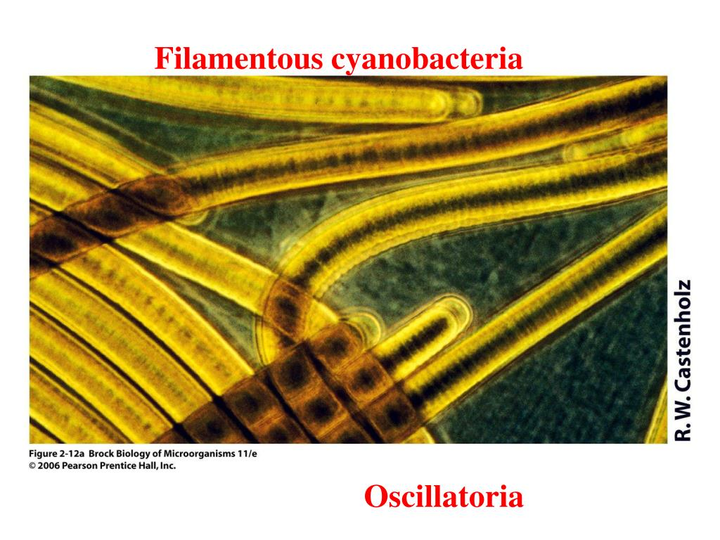 Filamentous cyanobacteria