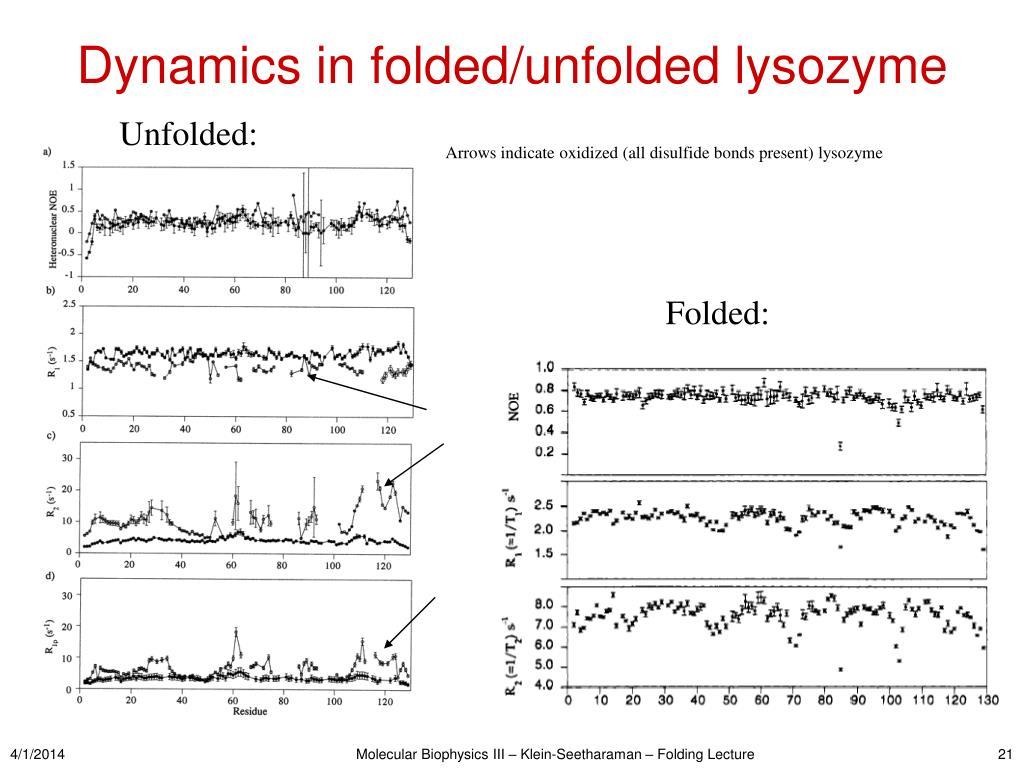 Dynamics in folded/unfolded lysozyme