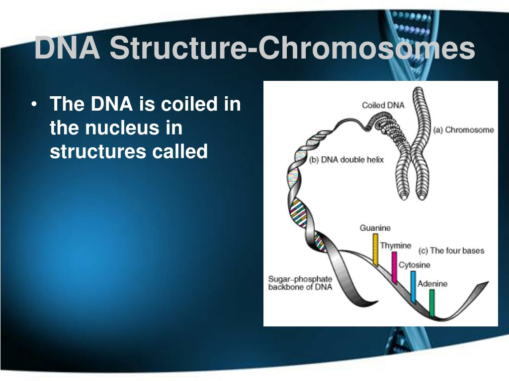 DNA Structure-Chromosomes