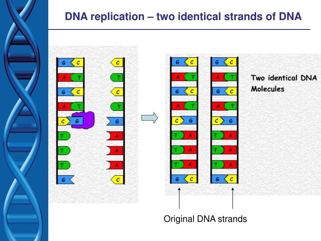 DNA replication – two identical strands of DNA