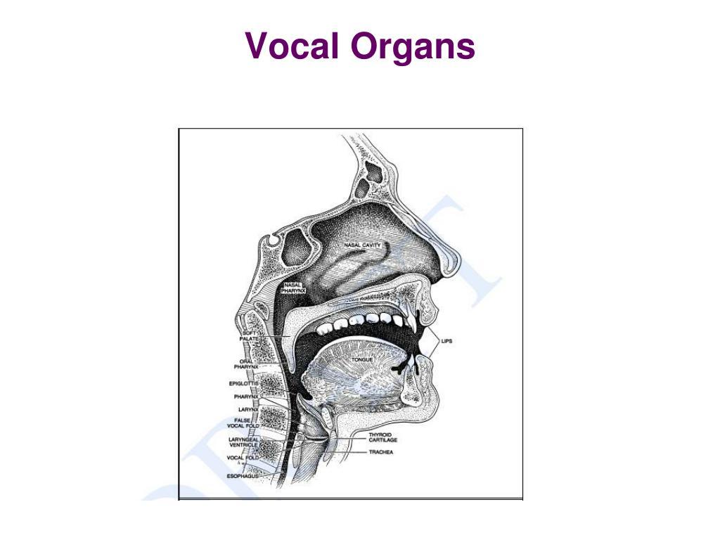Vocal Organs