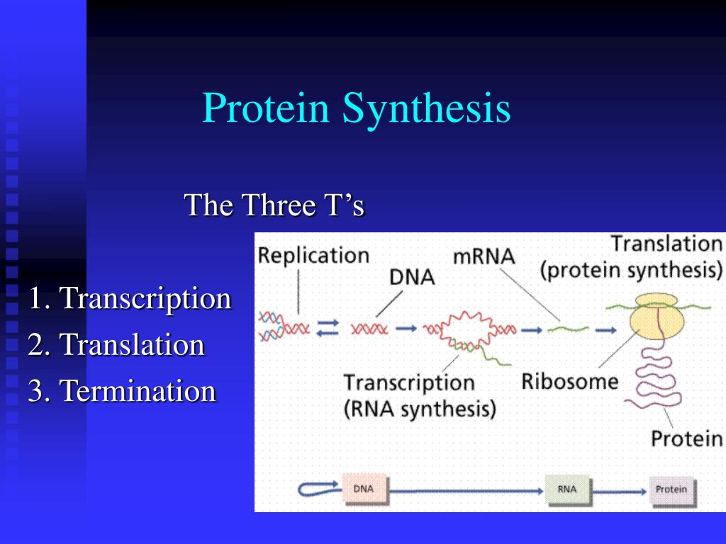 protein synthesis within dna processes biology essay Protein synthesis within dna processes biology essay protein synthesis is the process whereby dna encodes for the production of amino acids and proteins it is a very complex and precise process and as proteins make up over half of the dry mass of a cell, it is a vital process to the maintenance, growth and development of the cell.