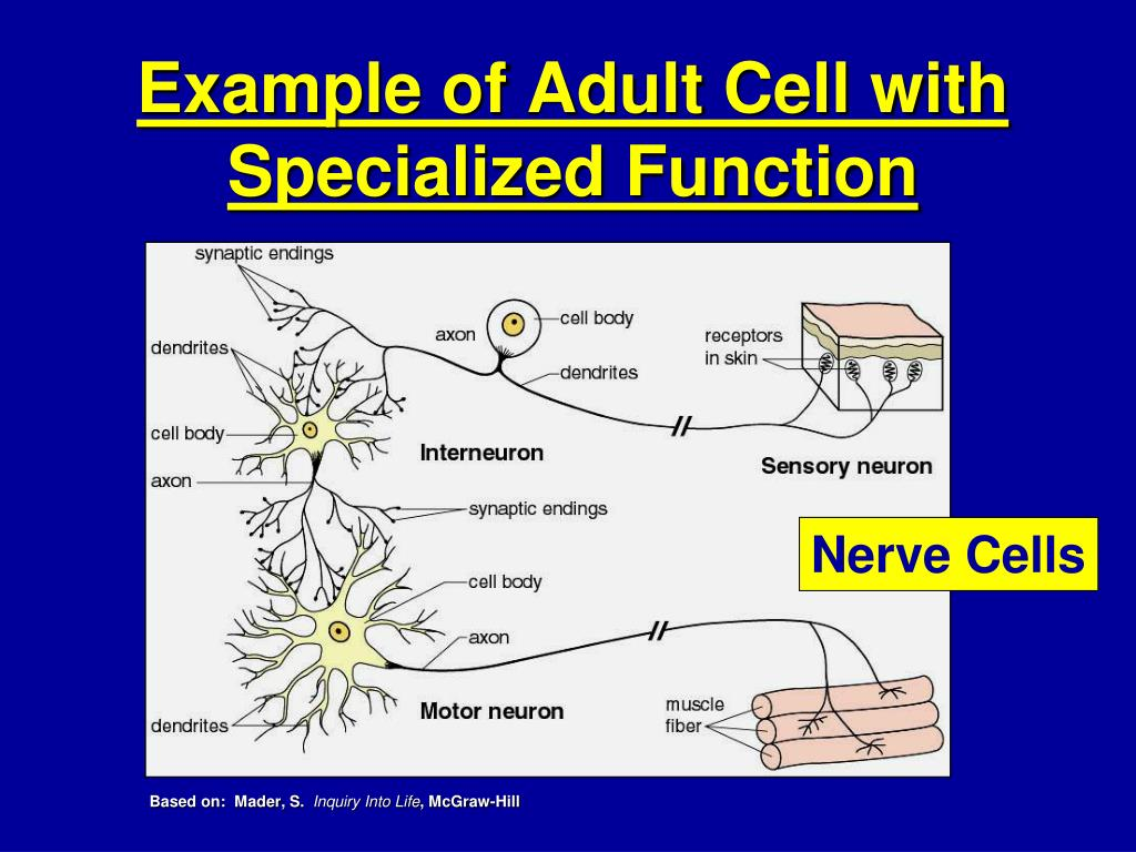 Example of Adult Cell with Specialized Function