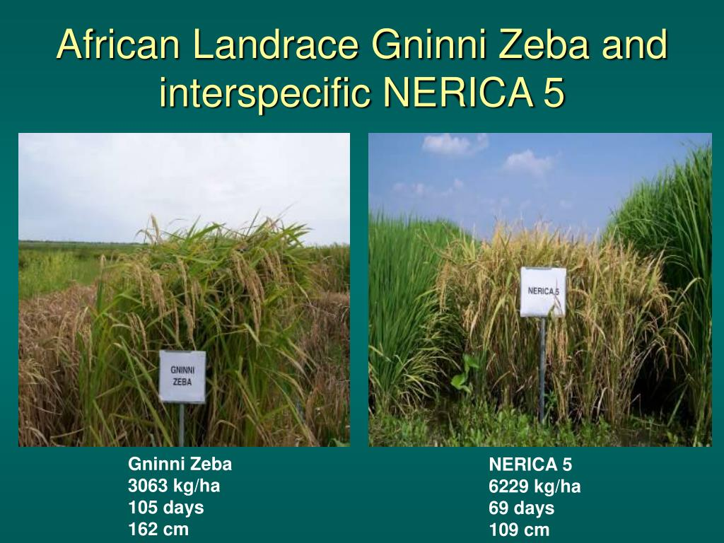 African Landrace Gninni Zeba and interspecific NERICA 5