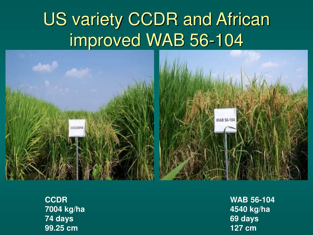 US variety CCDR and African improved WAB 56-104
