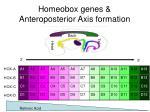 homeobox genes anteroposterior axis formation