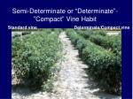semi determinate or determinate compact vine habit
