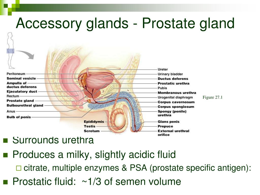Accessory glands - Prostate gland