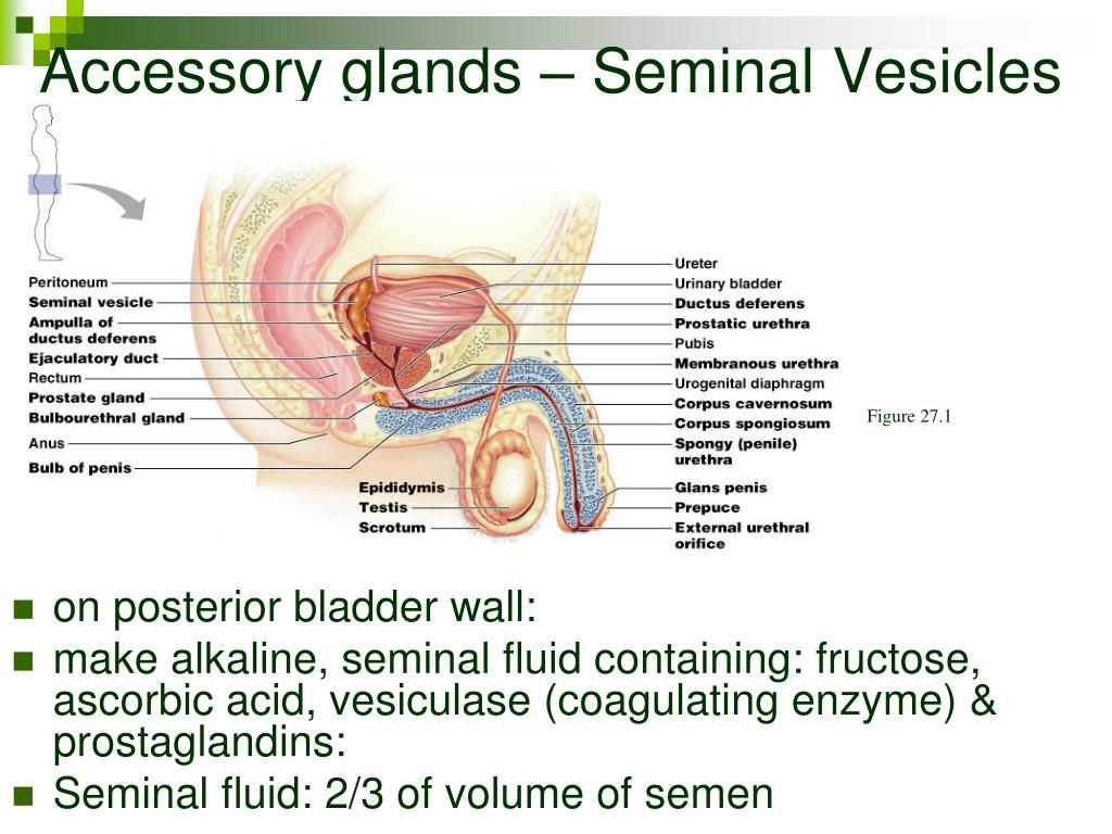 Accessory glands – Seminal Vesicles