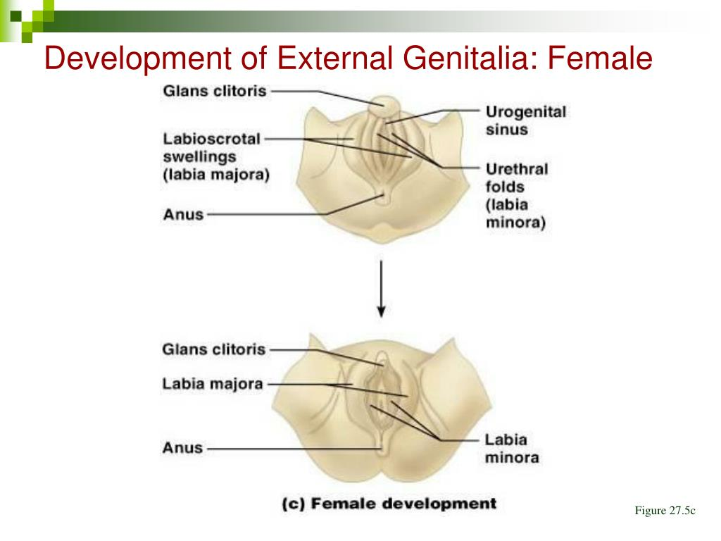 Development of External Genitalia: Female