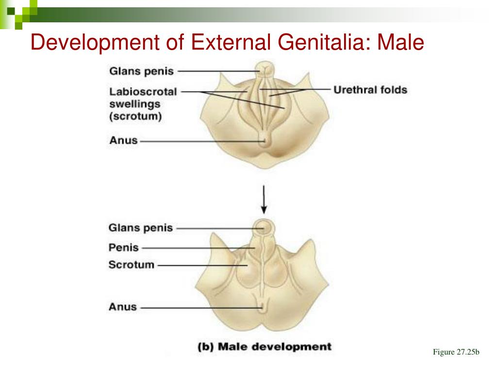 Development of External Genitalia: Male