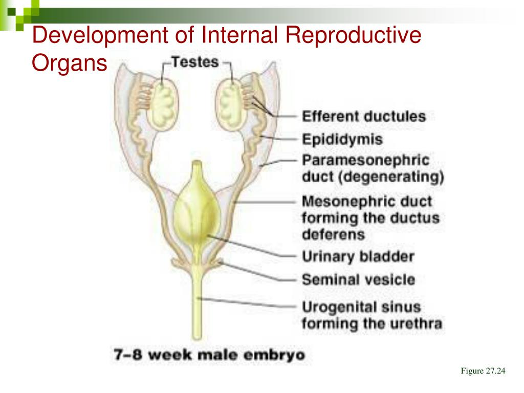 Development of Internal Reproductive Organs