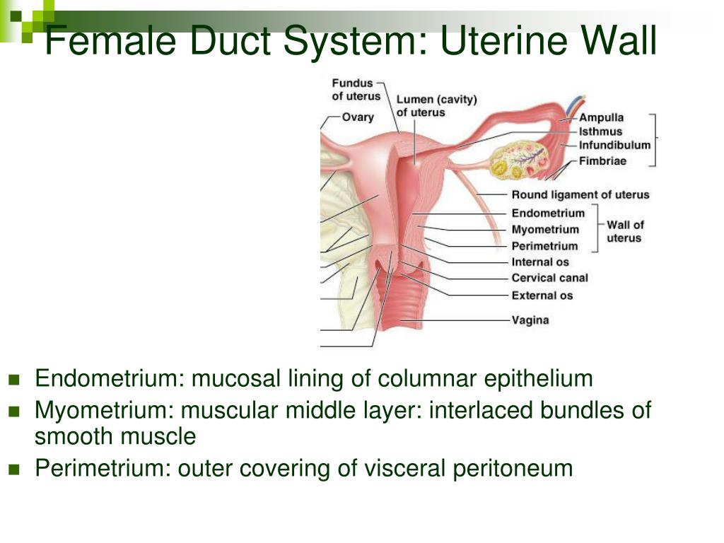 Female Duct System: Uterine Wall