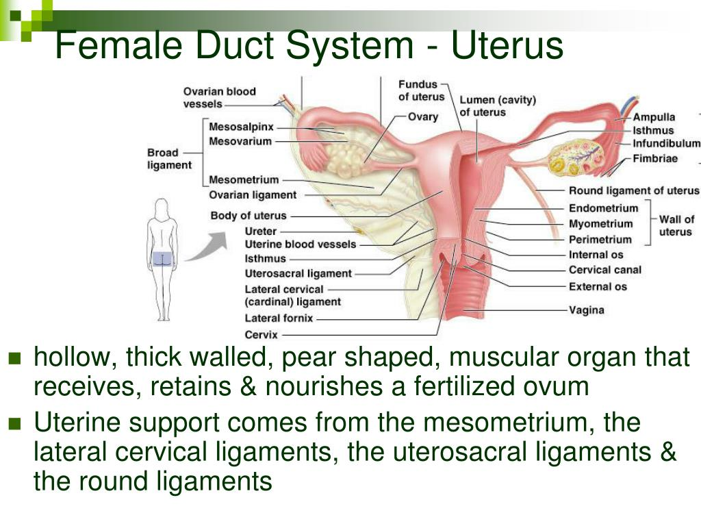 Female Duct System - Uterus