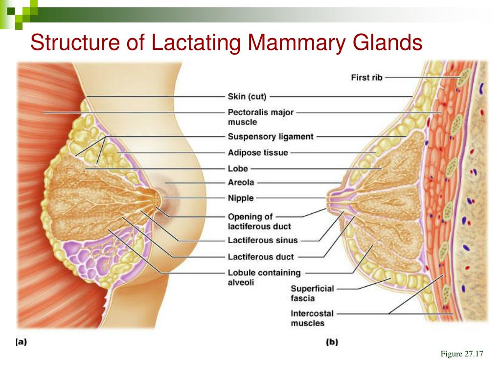 Structure of Lactating Mammary Glands