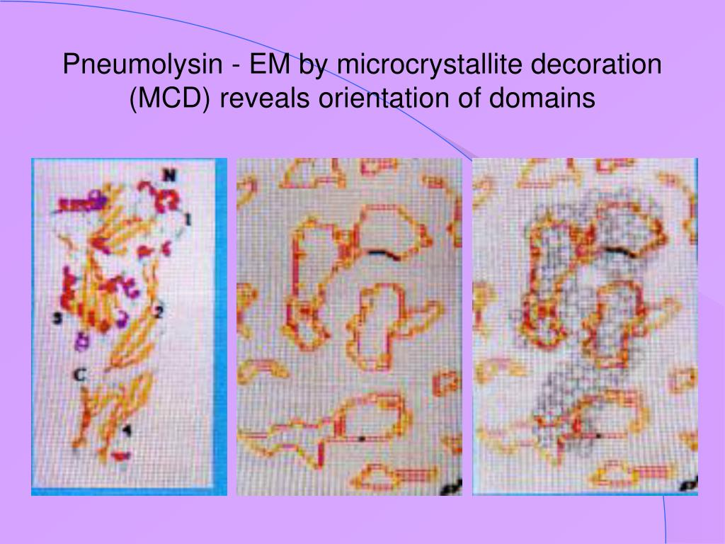 Pneumolysin - EM by microcrystallite decoration (MCD) reveals orientation of domains