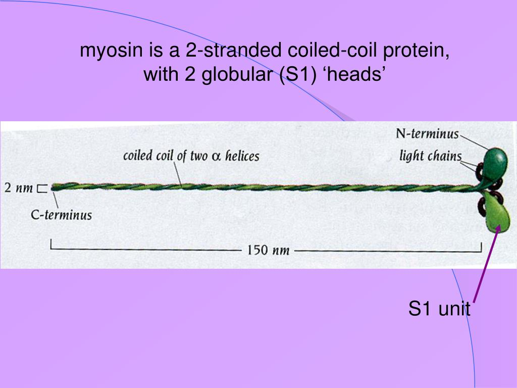 myosin is a 2-stranded coiled-coil protein, with 2 globular (S1) 'heads'
