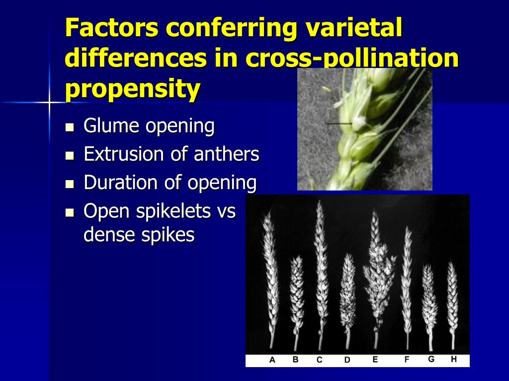 Factors conferring varietal differences in cross-pollination propensity