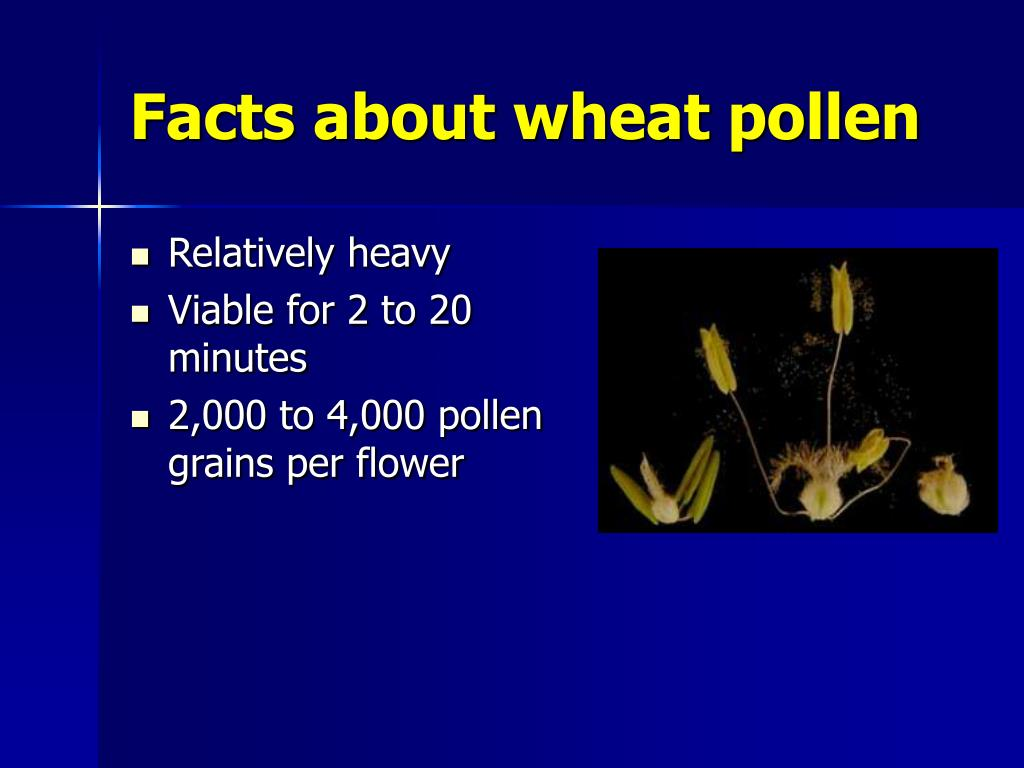 Facts about wheat pollen