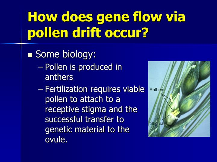 How does gene flow via pollen drift occur