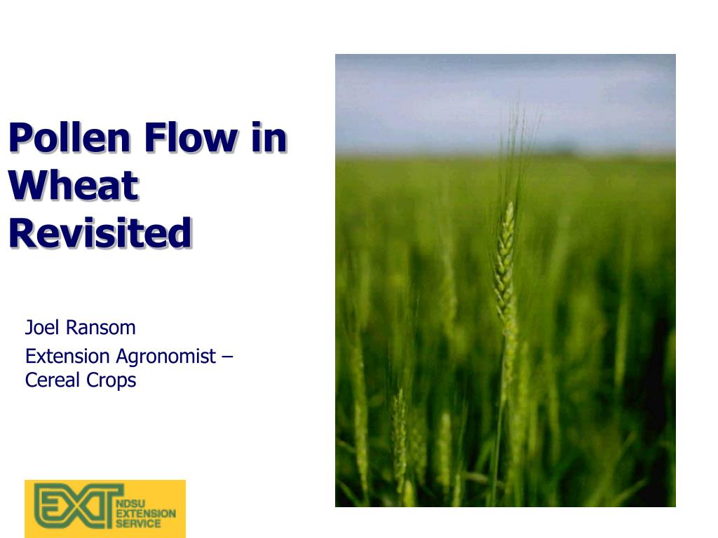 Pollen Flow in Wheat Revisited