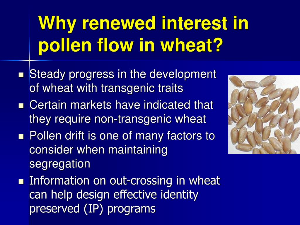 Why renewed interest in pollen flow in wheat?